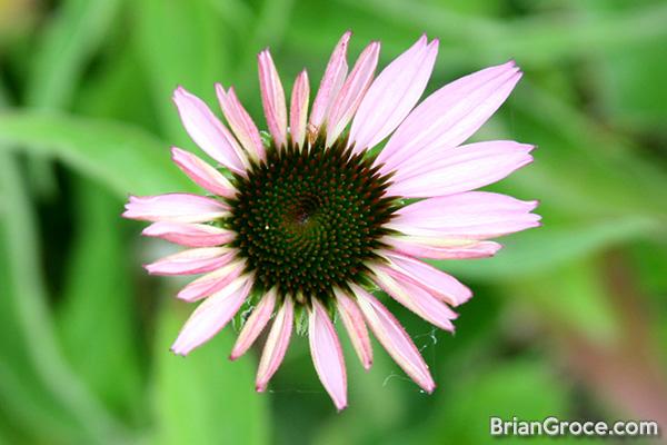 2014-06-30-cone-flower