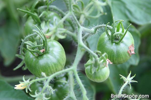 2014-06-30-tomatoes-1
