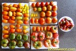 Tomato Harvest: August 20th