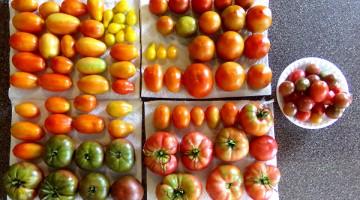 Tomato Harvest: August 20th