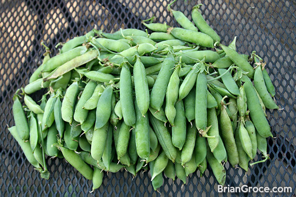 Growing Peas in Indiana: Pea Pods